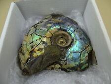 Ammonite Opalisée d Australie