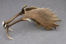 NATURALLY SHED SET OF WILD FALLOW DEER ANTLERS (PAIR, HORN, CARVING, TAXIDERMY)