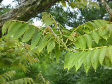 Chinesischer Gemüsebaum - Toona sinensis - Chinese mahogany- 5+ Samen - Saatgut