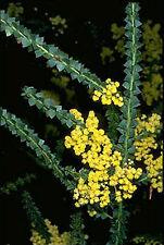 5ft Acacia pravissima - Hardy Weeping Acacia Tree