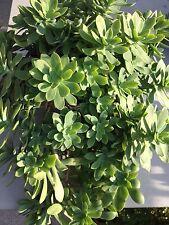 Sedum Palmeri Sukkulente Aeonium Dickblatt Hauswurz Sedum Kaktus Hänger Ableger