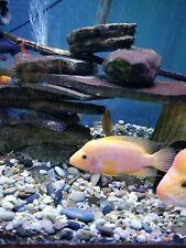 Live Aquarium Fish Red Devil 3 to 6 inch