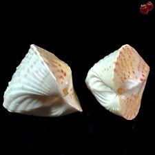 Lunulicardia hemicardia, Masbate Isl., Philippines, 33+34,5 mm, DELICIOUS SET