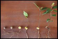 Laurus nobilis (bay tree, Laurel Tree) 5+ Seeds (#008)