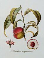 Peach Tree Print, French Art, Botanical Fruit, 11x14 double mat