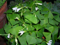 Oxalis Regnelii (Lucky Shamrock)WITH WHITE FLOWERS 2-TUBER - LUCKY PLANT
