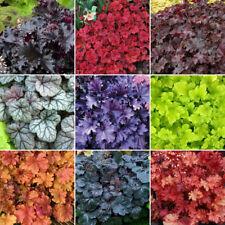 5 X Heuchera Plant Mix - High Quality Established Plants in Pots UK Grown