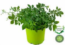 Jiaogulan Pflanze Gynostemma pentaphyllum, aus 1.Generation vegetativ vermehrt!