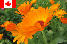 25 Seeds - Single Orange Calendula (Calendula officinalis) Seeds - Free Shipping