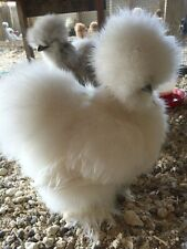 """12+ Bearded Silkie Hatching Eggs Assorted Colors  from color separate pen """"NPIP"""""""