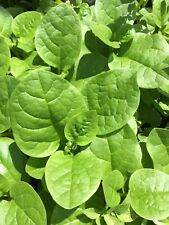 150+Malabar Spinach (Mong Toi) seeds,easy growing,healthy vegetables, USA seller