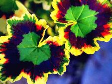 Super!!! 100 pcs Rare Seeds Variegated Geranium Potted Home Garden House Plants
