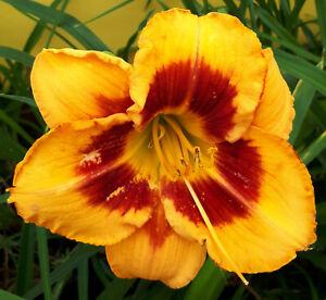Hemerocallis 'Orange Firecat' Taglilie