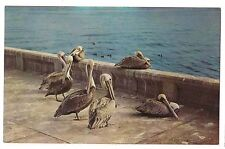 POD OF PELICANS Group or Colony on Concrete WALL Ocean Salt Water Birds Postcard