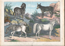 1886 Belle lithographie originale zèbre âne cheval équidés gravure