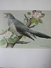 BASIL EDE BIRD PRINT ~ CUCKOO