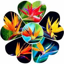100Pcs Strelitzia Reginae Bird Of Paradise Flower Seeds Beautiful Potted Plants
