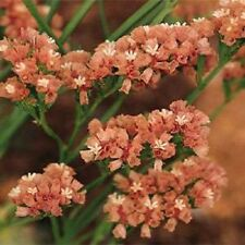 50+ Apricot Statice Flower Seeds / Annual / Great Gift