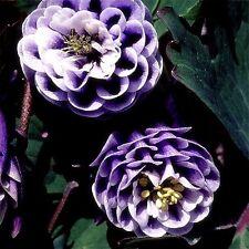 """Aquilegia vulgaris (Columbine) """"William Guinness Doubles/Magpie"""" x 20 seeds."""