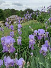 Light Purple Tall Bearded Iris Bulbs