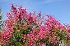 Tamarix tetrandra / Tamarisk / Salt Cedar, 3-4ft Tall, Stunning Flowering Shrub