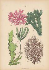 Algas. colorierte litografía de 1884 con incorporada leyenda.