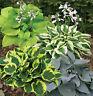 HOSTA PLANT FLOWER SEEDS - MIX - BULK - 100 SEEDS