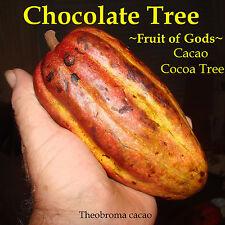 Chocolate Tree Seeds - Theobroma Cacao CRIOLLO Cocoa - Rare - Exotic - Fresh