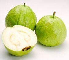 NEW 50 APPLE GUAVA FRUIT SEEDS, PSIDIUM GUAJAVA COMMON GUAYABA PERA PEAR YELLOW