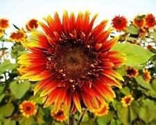 25 Joker Sunflower Seeds Flowers Seed Flower Blooms Perennial Sun Bloom 1077