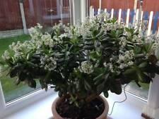 Money plant (Jade plant )~ 5 cuttings
