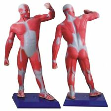 Newest 1x Human Whole Body Muscle Sport Move Medical Art Teach Model