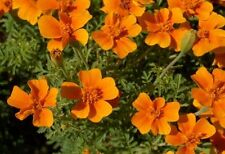 Marigold low Flower Mexican Karina annuals Seeds  from Ukraine