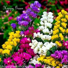 STATICE - DRY - MIXED COLORS - 250 SEEDS - SEA LAVENDER - Limonium sinuatum