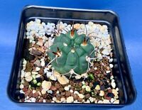 "GYMNOCALYCIUM CARMIANTHUM P133 IN A 4"" POT, SEED GROWN CACTUS PLANT, RED FLOWERS"