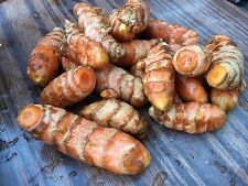 Turmeric x2 Rhizome - Edible Ginger Freshly Dug - **BUY 2 LOTS GET 1 LOT FREE**
