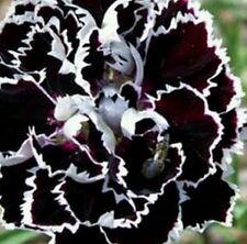 10 graines rose tremieres double dentele noir et blanc
