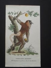 PROBOSKIS MONKEY -  HARRISON CLUSE 1800 HAND COLORED COPPER PLATE ENGRAVING