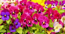 300/600 Seeds Pansy Winter Mix Flower Semi Rustic Bloom Very Early