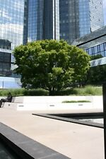 Japanischer Fächerahorn Acer palmatum 80-100 cm im 5 Liter Container