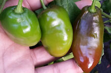 Rocoto Chocolate - An Ultra Unique Chilli You will Ever find on this Planet!!!