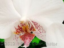 Spotted Angel, 9 x 12 Fine Art Orchid Photo, Home Decor, Moth Orchid (Phal)
