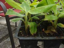 DWARF CAVENDISH  Musa Live Banana plant fruit tree