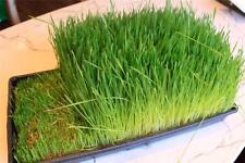 Wheatgrass 800 + Organic Seeds Great Healthy Food for Juice Antioxidant Non GMO