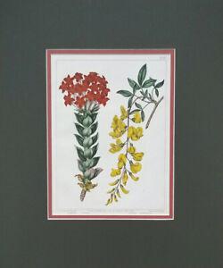 Hand Colored Botanical by F. Sansom After Sydenham Edwards 1812
