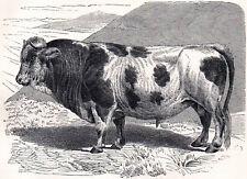Friburg Bull 1894 Gustav Ludwig Heinrich Mützel - Mammal Victorian Engraving