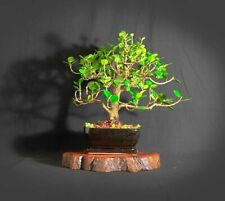 "Green Island fig bonsai tree, ""First Fruit"" collection from Samurai-Gardens"