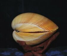 "GIANT YELLOW COCKLE PAIR  SEA SHELLS  5 TO 6""  BEACH DECOR  TROPICAL AQUARIUM"
