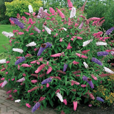 1 X BUDDLEIA TRICOLOUR BUTTERFLY BUSH MIXED COLOURS HEALTHY GARDEN PLANT IN POT