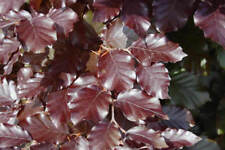 20 x   Purple Beech  - Better than Bare Root -  2yr Old Plants - 1-2ft